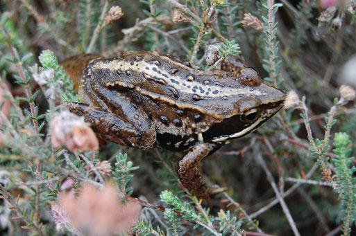 Moorfrosch - außerhalb der sehr kurzen Balzzeit nicht bläulich gefärbt und dann recht ähnlich dem Grasfrosch; erkennbar ist Moorfrosch an heller Rückenlinie, Rückenwulstleisten und körniger Haut; Lohner Moor; Foto: Ludger Frye 2011