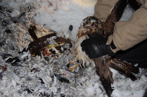 Foto 2: Befreiung des verletzten, unterkühlten Mäusebussards aus grausamer Falle, der anschließend zur Erstversorgung zum Veterinär gebracht wurde und überlebte. Ein zweites, sterbendes Tier musste leider eingeschläfert werden.  Foto: Frye / NABU 2010