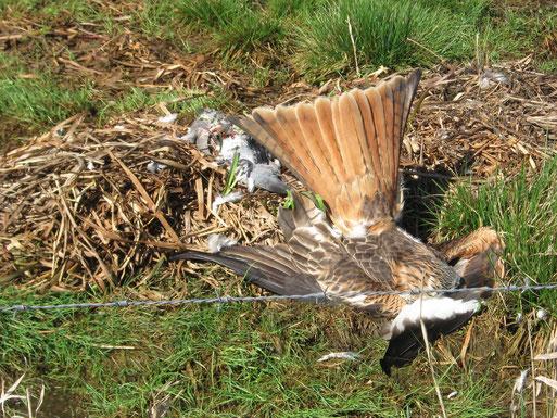 Direkt neben ausgelegtem, vergiftetem Köder liegt ein verendeter, streng geschützter Rotmilan nahe des Dümmers im NSG Huntebruch (Lkr. DH); Foto: R. L. 2011   -    AKTUELLE BELOHNUNG: 3.000 €
