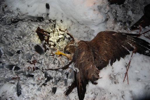 Foto 1: Illegale Totschlagfalle im Schnee im Naturschutzgebiet Steinfelder Moor (Kreis Vechta) mit gefangenem, scheinbar schon totem Mäusebussard; Foto: Frye / NABU 2010