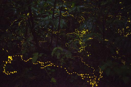 ヤエヤマボタルの幻想的な光の乱舞