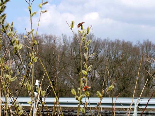 Kleiner Fuchs und Tagpfauenauge an Salweide saugend, Süd-Davert nahe der Autobahn, 5.4.2015.