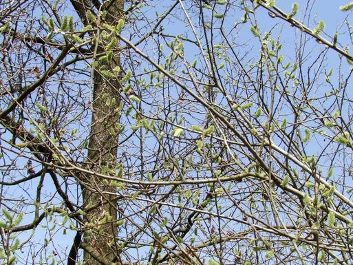 Zitronenfalter-Männchen an weiblicher Salweide, Davert 10.4.2015.