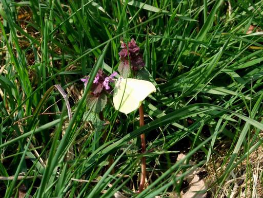 Zitronenfalter-Weibchen an Roter Taubnessel, Davert 9.4.2015.