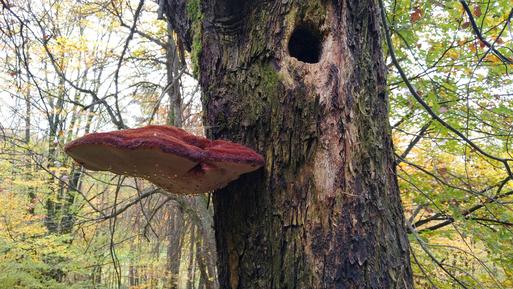 """Zottiger Schillerporling - Inonotus hispidus; im Naturschutzgebiet """"Essigberg"""" (B. Miggel, 2019)"""
