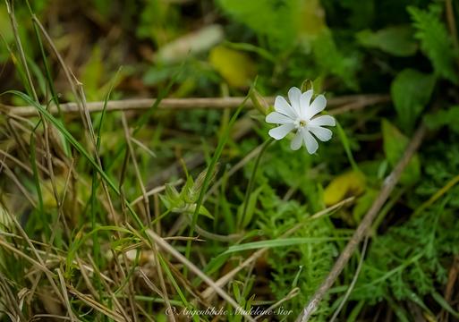 Weiße Lichtnelke - Silene latifolia; späte Blüte im Oktober (Madeleine Stor)