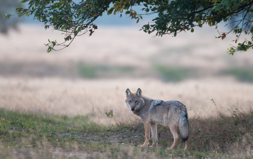 """Wolf"" - ""Autor: Jürgen Borris"""