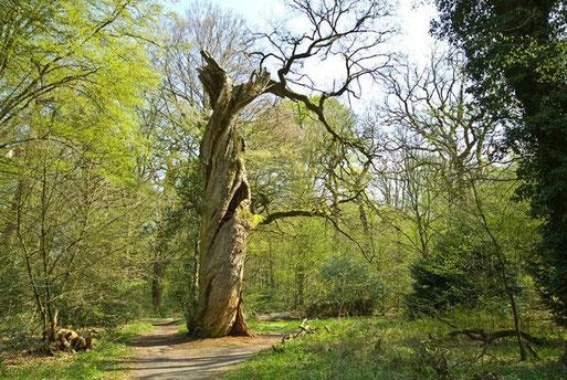 Ca. 700 Jahre alte Eiche im Naturschutzgebiet >Neuenburger Urwald<   -  Foto: A. Bürgener