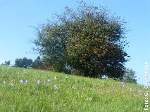 NABU-Wiese im Südosten des Gebietes mit besonders markantem Weißdorn und Glockenblumen auf der Magerwiese