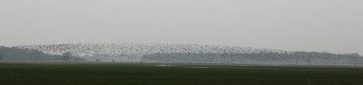 Eine Wolke mit tausenden Wildgänsen in der Jader Marsch. Zum Bericht von S. Lorenz bitte auf das Bild klicken.