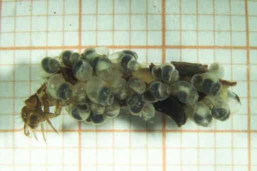 Köcherfliegenlarve, Köcher aus leeren Schneckengehäusen der Rhön-Quellschnecke