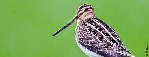 Durch die Zerstörung ihrer Lebensräume ist die Bekassine in Deutschland vom Aussterben bedroht.