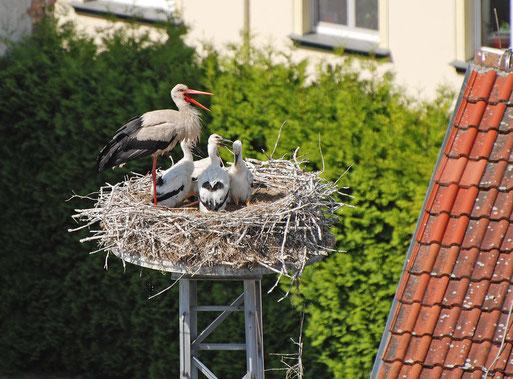 Unser Stadtstorchenpaar auf dem Firmengelände der Wohnungsbaugenossenschaft hat auch 2012 wieder 4 Junge erfolgreich großgezogen (Foto: Thomas Büsching)