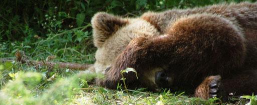 Bear Nastasija enjoying a break in Dancing BearPark Belitsa - © FOUR PAWS International