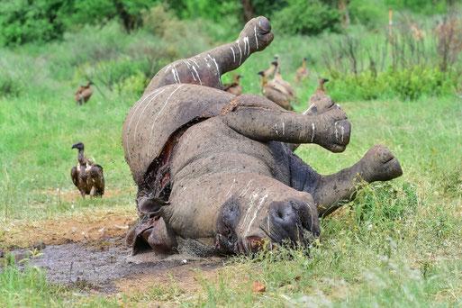 Ein kurz zuvor gewildertes Nashorn