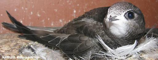 Ein Leben im Flug: Mauersegler haben nur bei der Jungenaufzucht Bodenberührung.