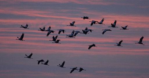 Kraniche beim Abendeinflug  Foto: NABU/T.Dove