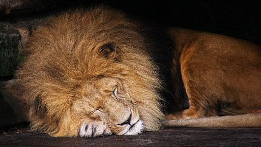 Hypnose gegen Rauchen der schlafende Löwe