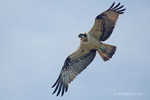 Fischadler;  Foto: W. Ewert
