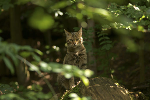 Wildkatze fotografiert von Marko König