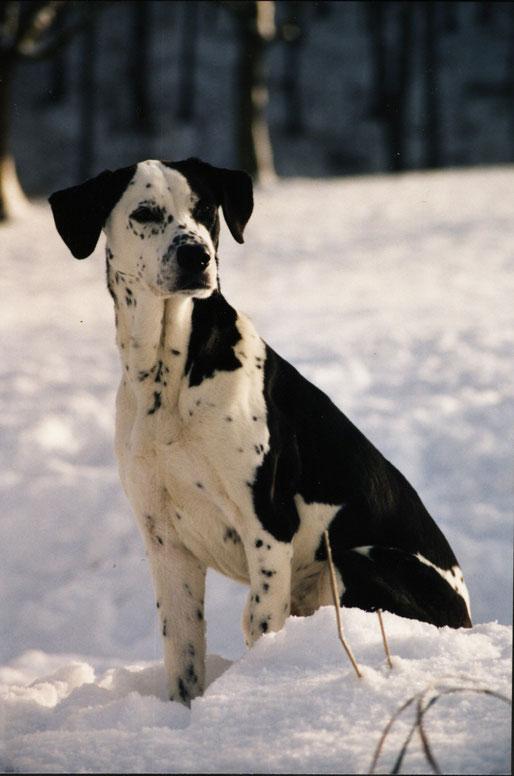 Dalmatiner im Schnee sitzend