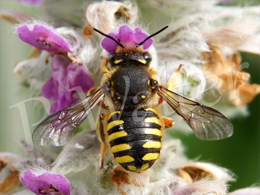 22.06.2016 : Garten-Wollbienen-Weibchen am Woll-Ziest