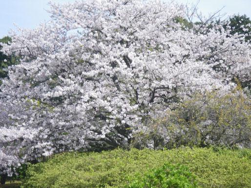 能古島で、桜が満開
