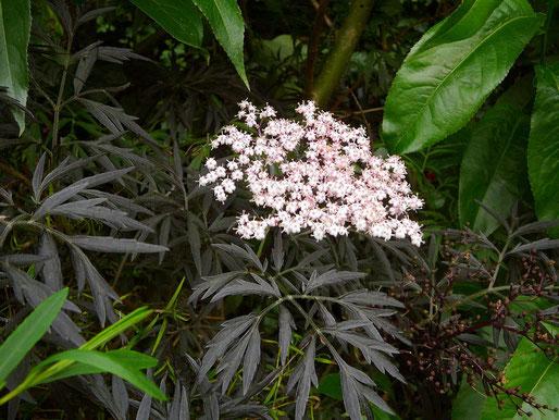 Die Blüten vom Rotblättrigen Holunder sind rosa!