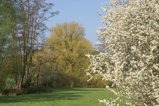 Frühling in der Fauerbachaue II; April 2019