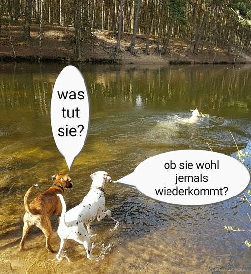 Somora´s Karamel Kiss (Kara) mit Ihrer Boxer Freundin beobachten Fanny vom Furlbach...April 2016
