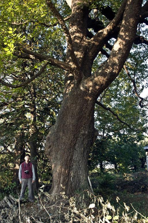 データベース登録済みの巨木です
