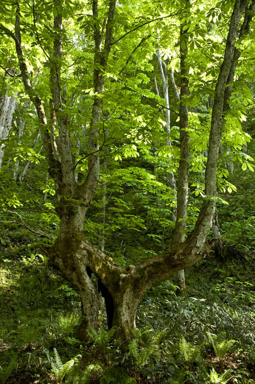 トチの巨木、まるで宮崎駿の「サンダラボッチ」(木霊)のような森の妖精だ(平川市) 無名の樹なので勝手に「サンダラボッチ」のトチノキと命名しました。浅石川の上流の道路から少し入った所にあります。