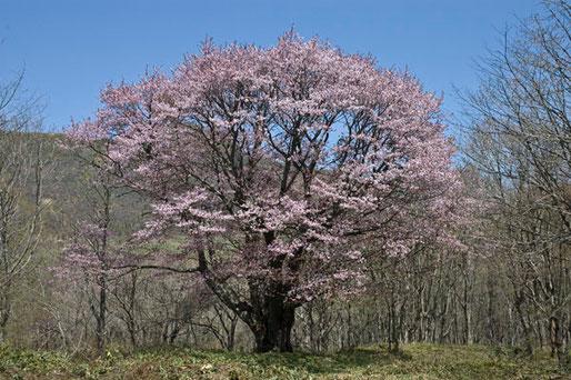 これだけの天気と満開の山桜にはもう一生会えないだろう