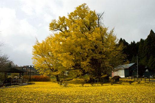 11月15日。見事な銀杏と黄金の絨毯。〈七戸町銀南木の子安銀杏〉