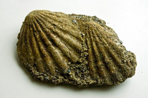 田子町の熊原川で見つけた貝の化石です。1万年ぐらい前、この辺は熱帯地域の海だったようです。貝名はこれから調べます。