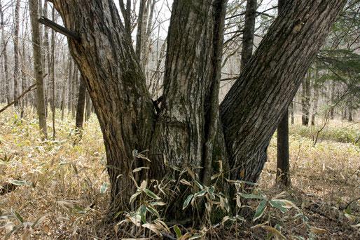 この三頭木のクリは幹周5.7mもあった