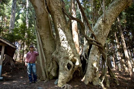 このホウノキは、根元から3本分かれています。お薦めの巨木です。