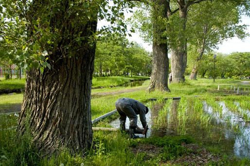 五所川原の菊ケ丘公園にはこのようなポプラの巨木が20本ぐらいもあります。