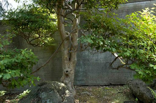 ドウダンツツジの巨木もあった(高橋家)