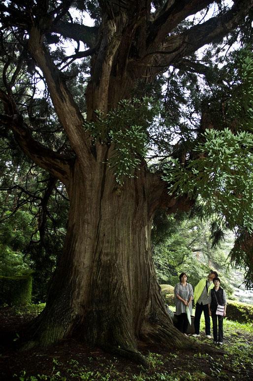 埼玉から弟が帰ってきたので巨木めぐりをしました