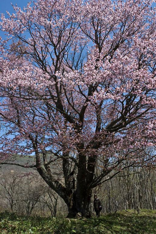 高橋会員がいることで巨木の大きさがわかる