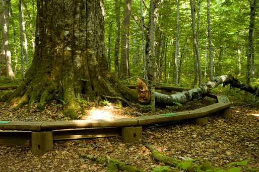 「森の神」のかなり太い枝が折れて落下していた、見学の際は注意しよう(十和田市)