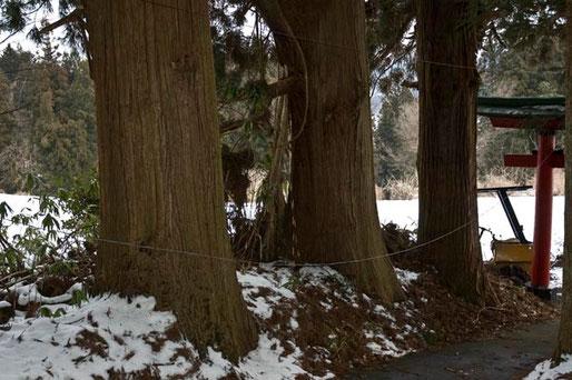 門杉として植えられたものだろう