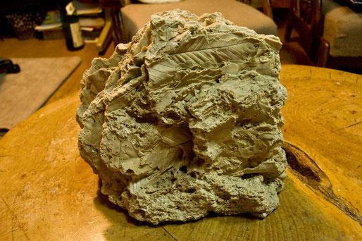 葉の化石(何の樹がわかりません)