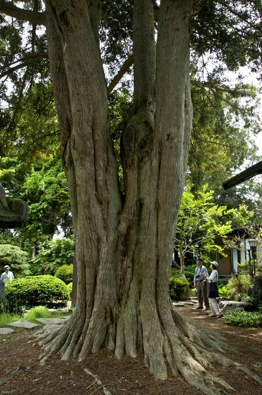 カヤの巨木(黒石市・青森県指定天然記念物)