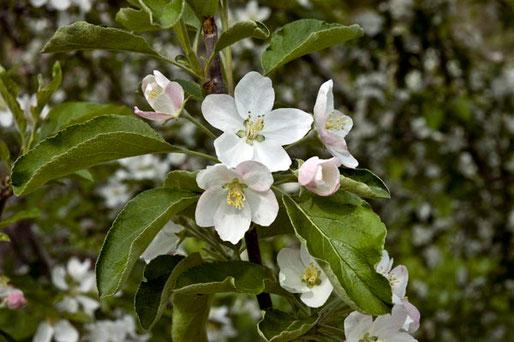 となりには可憐なリンゴの花が咲いていた