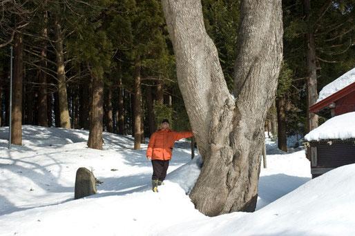 4日に青森市の宮田の銀杏を見に行ったら雪のため到達できなかったのですが、偶然に写真の巨木を発見しました。