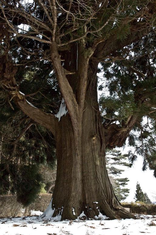 冬の杉はいいものです