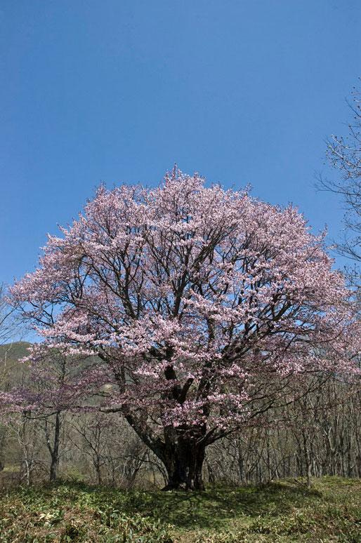日本一「七時雨山のオオヤマザクラ」