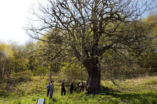 九戸村のヤマナシの巨木